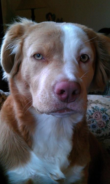 A pitbull/golden retriever mix. ( Unusual looking dog...quite distinguished actually)