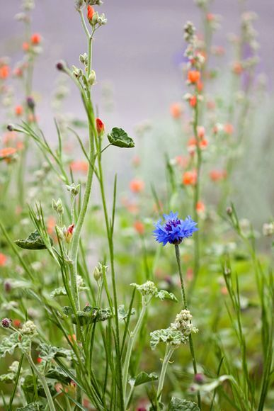 Photograph by Julie Callison, My Shot A lovely bachelor's button standing out in a crowd of wildflowers.