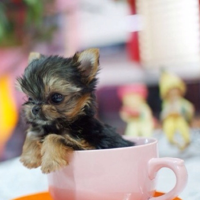 157 best cutest yorkies images on Pinterest | Fluffy pets ...