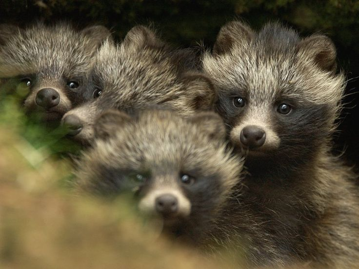 The Raccoon Dog, or Tanuki, is indigenous to East Asia. The raccoon dog is named for its resemblance to the raccoon, to which it is not closely related.