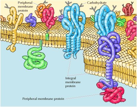 "Structure of the plasma membrane. The plasma membrace has two layers ( a bilayer) of phospholipids (fats with phosphorus attached), which at body temp are like vege oil ( fluid). and the structure of the plasma membrane supports the old saying, ""oil and water don't mix."" Each phospholipid molecule has a head that is attracted to water ( hydrophilic- loving of water) and a tail that repels water ( hydrophobic- fearing of water)."