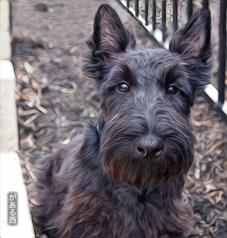 Duncan McDuff from the USA. Scottish Terrier Art.