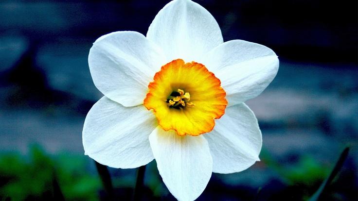 narciso flowers   fiori pinterest
