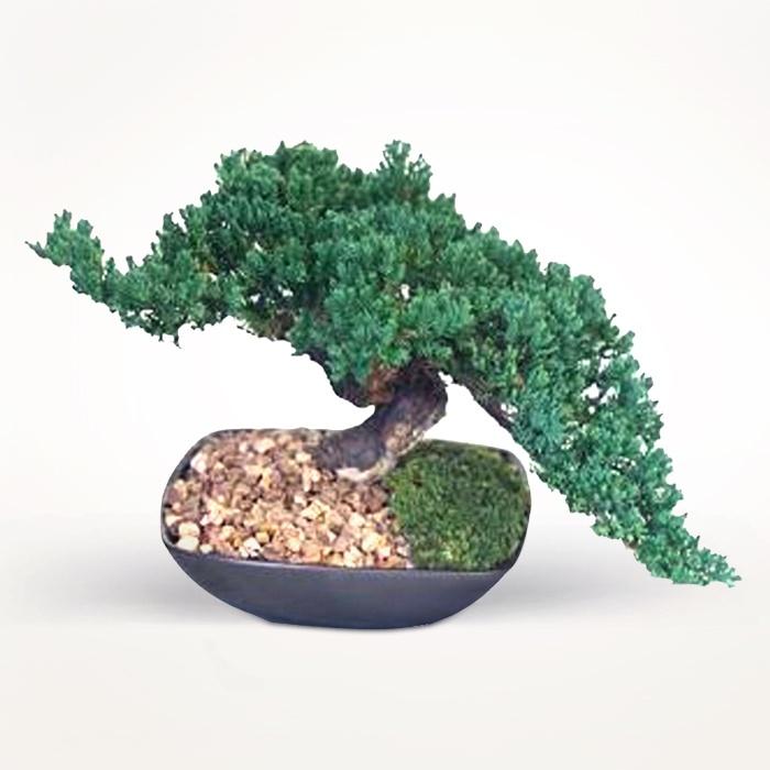 Preserved Mini Monterey #Bonsai ($30.53)