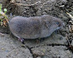 How To Remove Voles From Your Garden Good information to try. I'm going to have to get rid of some pests myself.
