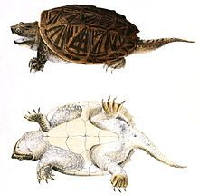 Common snapping turtle - Wikipedia, the free encyclopedia