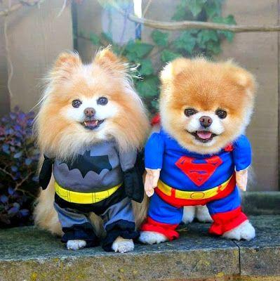 boo et buddy deux chiens mignons peluches vivantes 19   Boo et Buddy   web star spitz pomeranien photo peluche nain loulou de Pomeranie imag...