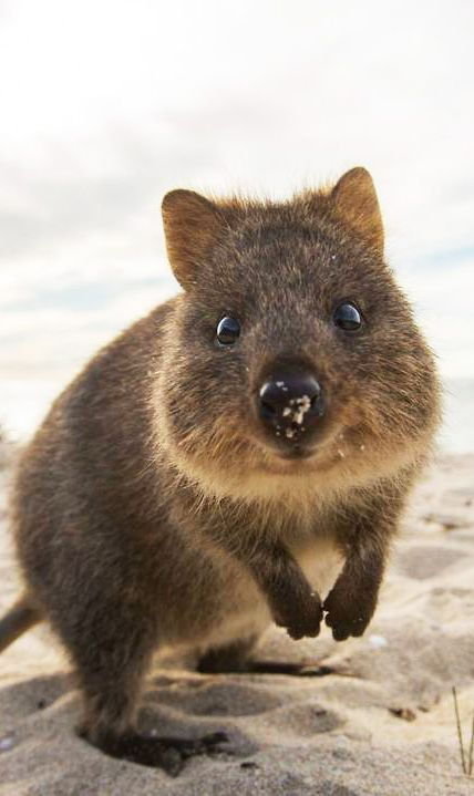 GAH I just want to snuggle a lil Quokka!!  Meet the Quokka, your most adorable island friend!