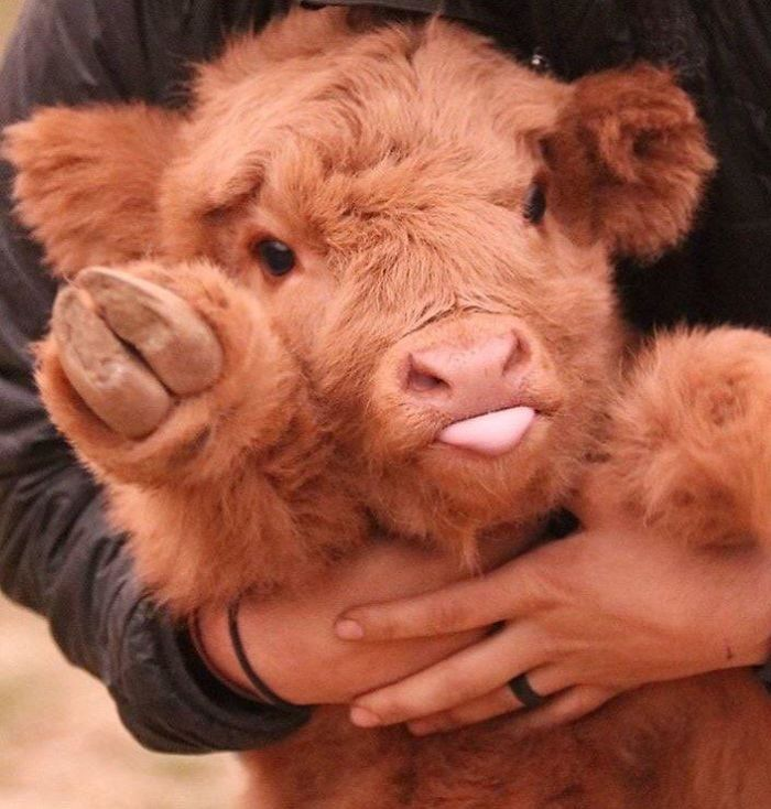 If You Ever Feel Sad, These 85 Highland Cattle Calves Will Make You Smile – Emily Withers