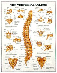 Vertebral Column Chart Australia Anatomy Chart Australia Online Point Cook Pilates  - The Vertebral Column, $45.95 (http://www.pointcookpilates.com.au/the-vertebral-column/)