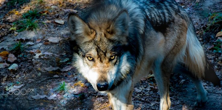 """""""El Lobo"""" Mexican Grey Wolf - """"El Lobo"""" Mexican Grey Wolf with piercing golden eyes.  As one Native American Proverb says, """"To look into the eyes of a wolf is to see your soul."""""""