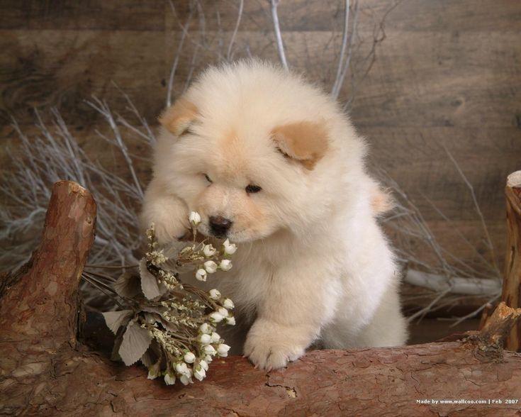 chow chow golden retriever mix | chow-chow-golden-retriever-mix-puppies-for-salebeagle-golden-retriever ...