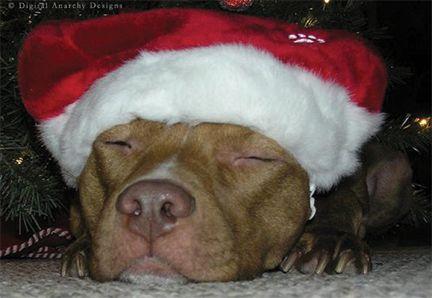pitbull christmas pictures   Pitbull Christmas   Ka-C Christmas ...