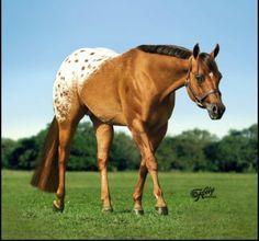 Chocolatey, Appaloosa Stallion in Michigan   Appaloosa Horses for Sale