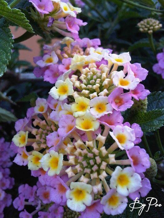Bunga telekan, Tembelekan, Saliara (Lantana camara). Dapat digunakan sebagai obat memar, keracunan makanan, serta untuk penghentian pendarahan pada penderita penyakit kanker rahim.