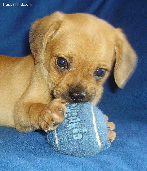 Cute Puggle Puppy