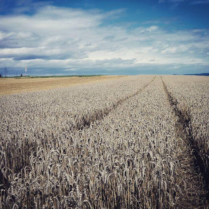 Fields of Silver by Michael Bohn (@bohn.bonn) auf Instagram #wanderlust #eifel #traumpfad #kell #höhlenundschluchtensteig #kornfeld #himmel