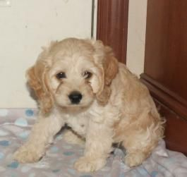 Cockapoo Puppies for Sale | Lancaster Puppies