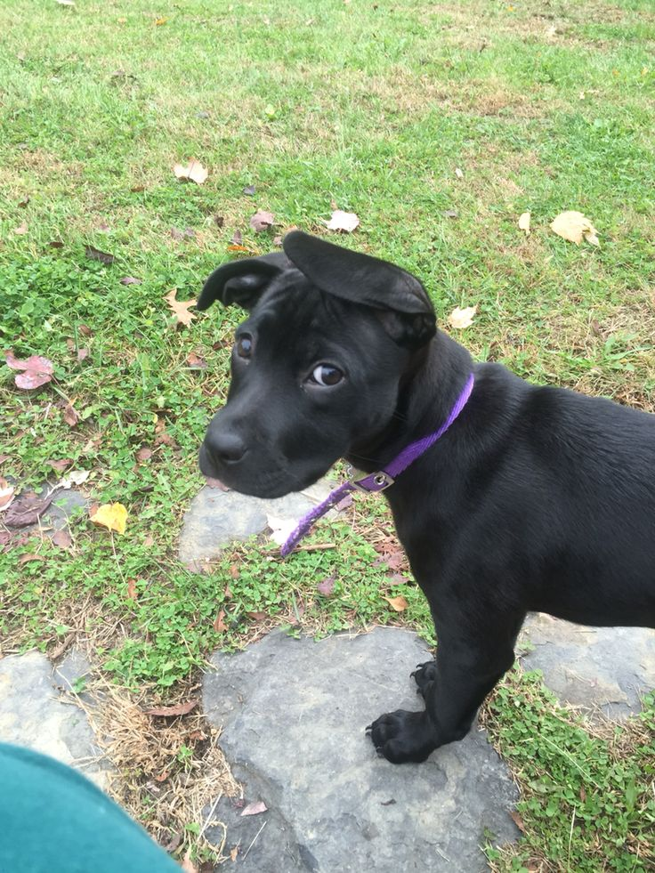 10 week old black lab and pit bull mix.