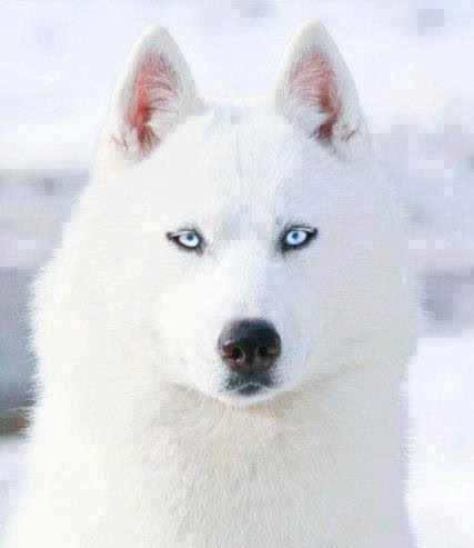 A Siberian Husky Beautiful white & again those Blue electric Eyes