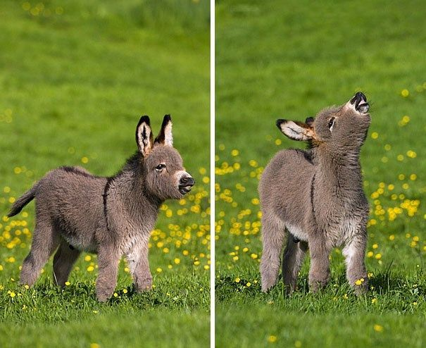 15 Pictures Of Tiny Donkeys That Are Too Fricken Cute For This World