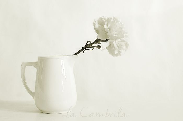 La Cambrila: Clavel blanco