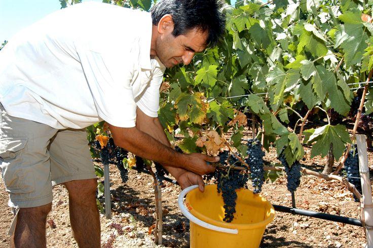 Hatziemmanouil vineyards. #Kos