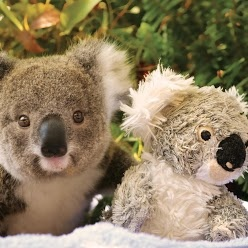 """Best friends at Koala Hospital Port Macquarie. It's the world's only hospital committed to the care of Koalas    This rescued joey called """"Ocean Summer"""" is now in home care with a local volunteer until it's old and strong enough to be released back into the wild.    Photo credit: Kevin Fallon, Greater Port Macquarie Tourism"""