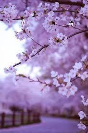Risultati immagini per fiori di ciliegio immagini