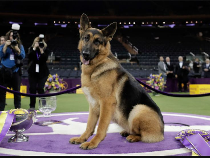 Rumor! Congratulations to the winner of the Westminster dog show you 2017! She's PERFECT!