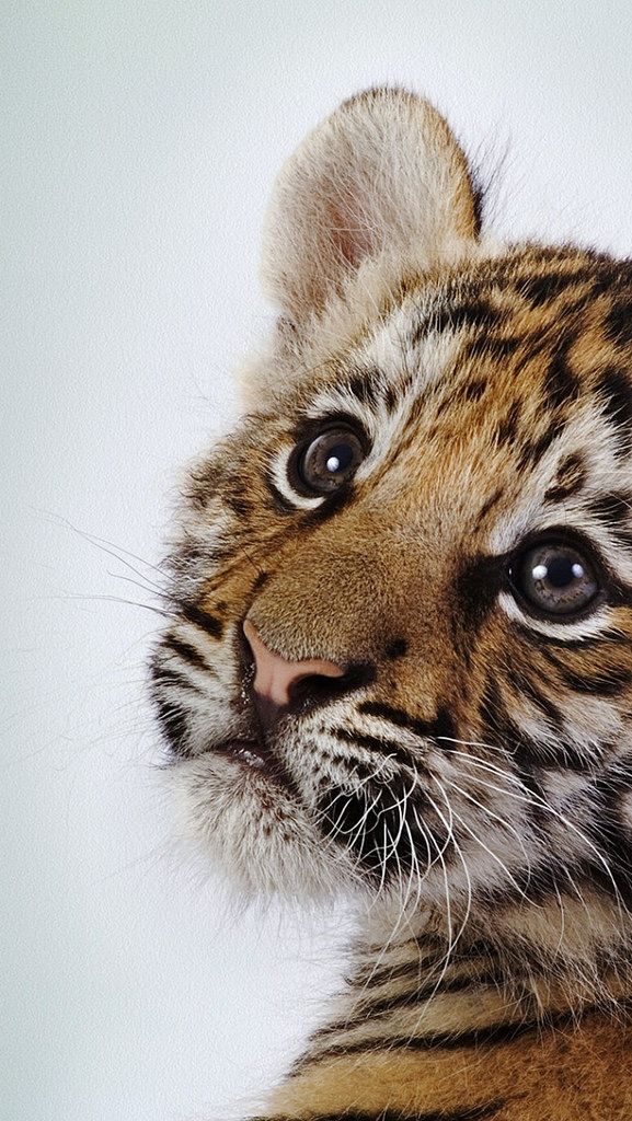 tiger_baby_face_cute_2722_640x1136 | von vadaka1986