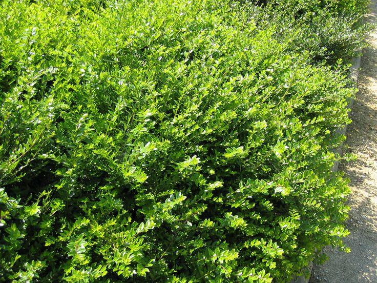 Chèvrefeuille arbustif, Lonicera nitida