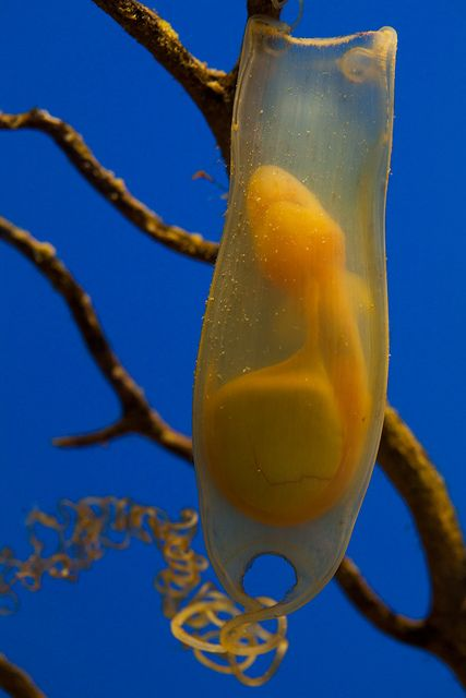 Shark egg by Sander van der Wel, via Flickr. WOW, very cool.