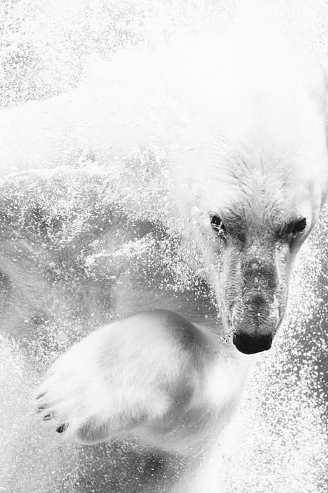 Black and white polar bear in water #polarbear #animals #photography
