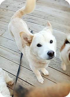 4/12/17 LONG ISLAND CITY, NY - Shiba Inu/Jindo Mix. Meet Rai, a dog for adoption. http://www.adoptapet.com/pet/17928220-long-island-city-new-york-shiba-inu-mix