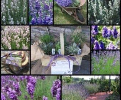 Lavendelsorten für Garten und Terrasse - GartenMagazine.de