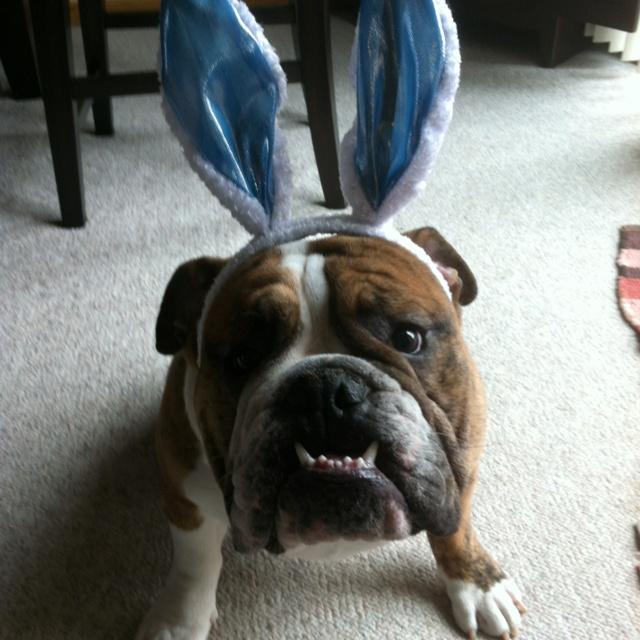 16 Best Easter Bulldogs Images On Pinterest