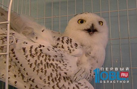 Полярную сову с переломанным крылом нашли южноуральцы на кладбище