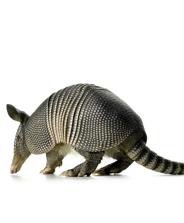 Armadillo by Mark Laita These friendly fellas have bad vision and their shells are very soft. Sadly, many get hit by traffic.