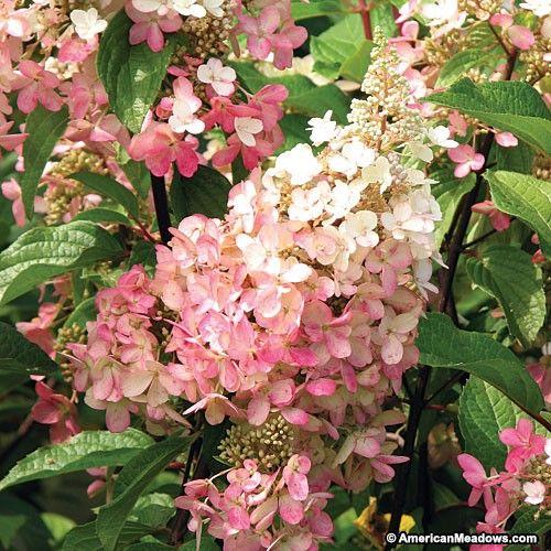 "Результат пошуку зображень за запитом ""hydrangea pinky winky"""