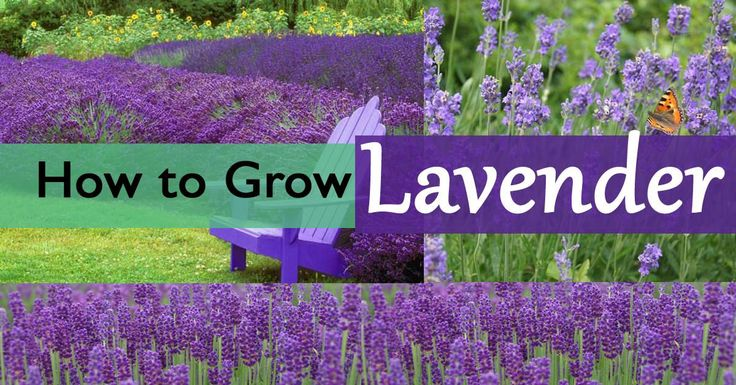 The robust smell and diverse shades of purple, blue, soft pink and white flowers, lavender is a must growing herb. Learn how to grow it in this article.