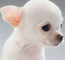 Best 25  White chihuahua ideas on Pinterest