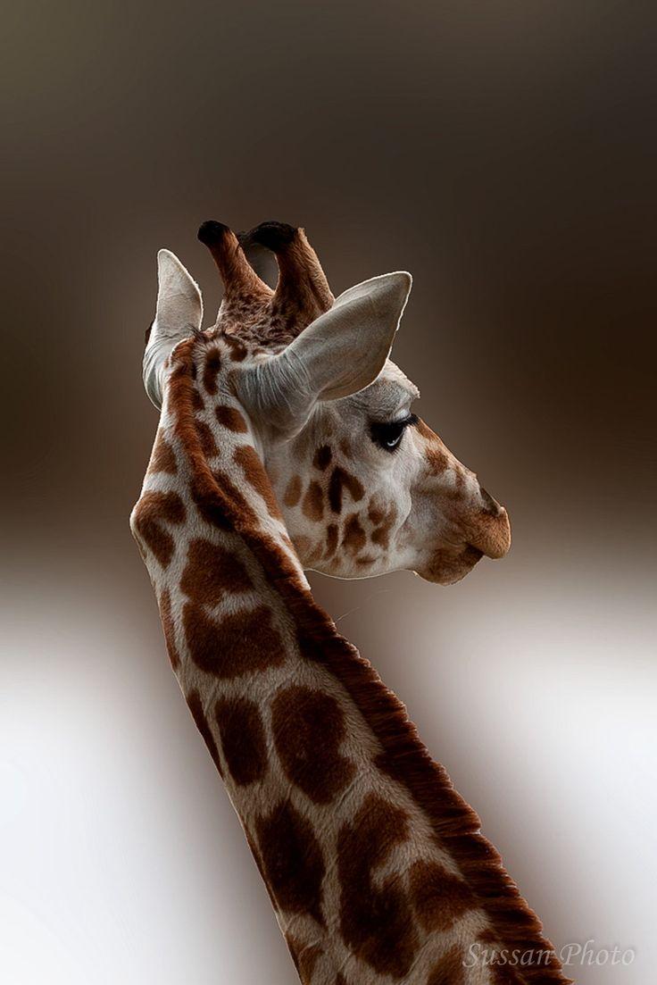 Giraffe by Sussan Photo via 500px