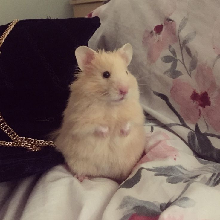 Bean Senses That There Are Peanuts Nearby Cute Hamsters Baby