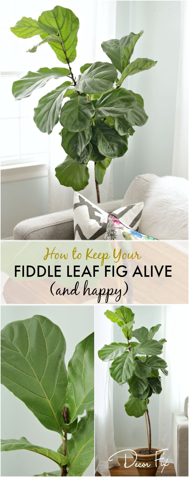 Keep your fiddle leaf fig alive & happy