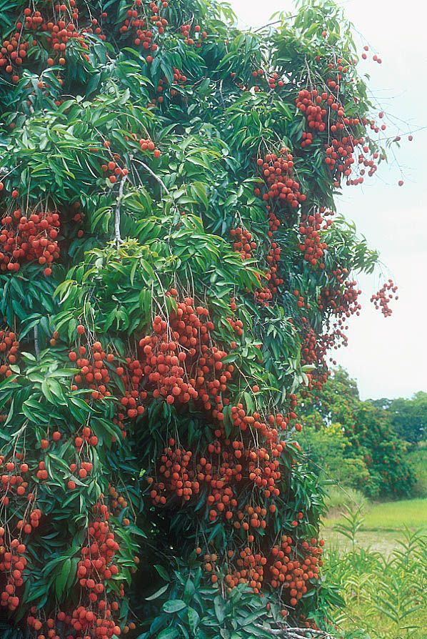 South Africa produces about 2 million 2kg boxes per year, 2500 ton fruit is sent to the local market and 1600 ton is sent to juicing facilities. Litchis are generally available from October to March and are a good source of vitamin C and are free from saturated fats, cholesterol and sodium.