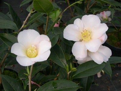 apple blossom bianco quasi puro con qualche leggera sfumatura rosa. fioritura è tardiva e può protrarsi anche fino alla fine dell'inverno
