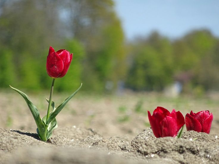 Tulip in a field