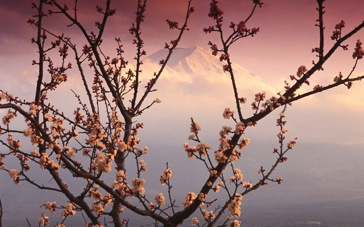 Mt. Fuji and cherry blossoms... Stunning...