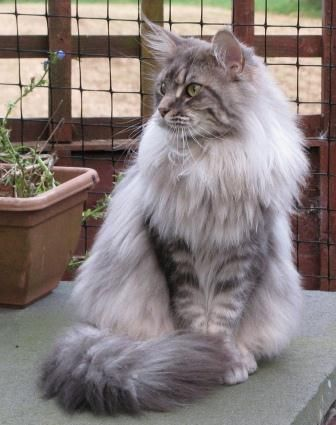 Maine Coon Cat. Baba in full coat. Beautiful!   IC, PR Bhanacoyne Allagra (Allie-Baba)